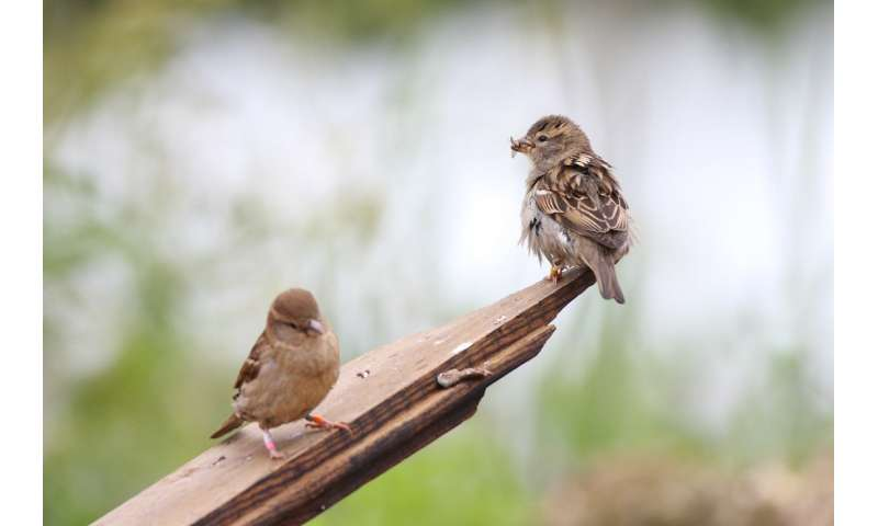 Why house sparrows lay both big and small eggs
