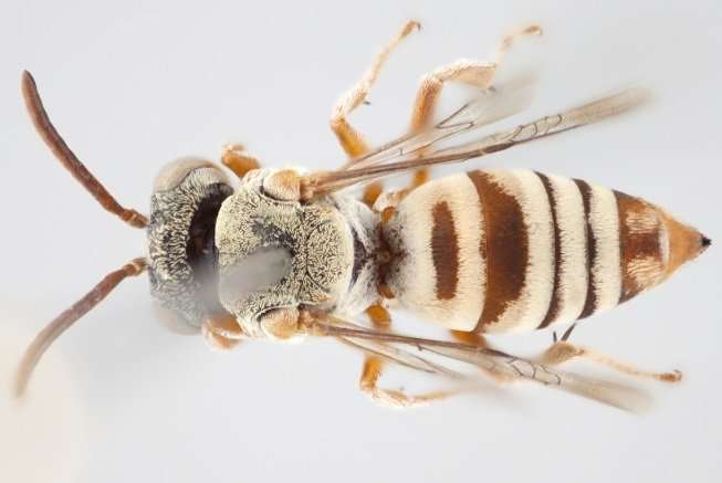 York U researcher identifies 15 new species of stealthy cuckoo bees