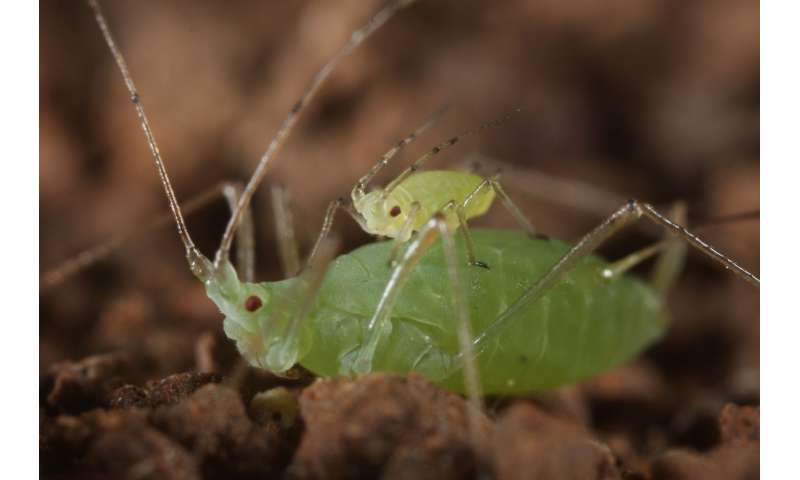 Young aphids piggyback on adult aphids to get to safety faster