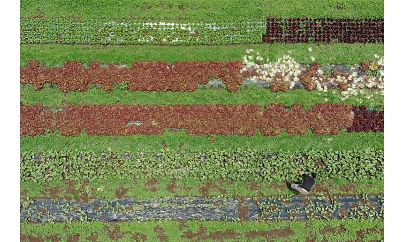 Yuya Shibakai doggedly trudges along a line of vegetables, pulling up weeds by hand