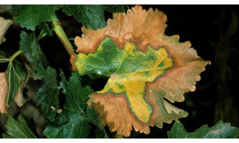 New insight into why Pierce's disease is so deadly to grapevines