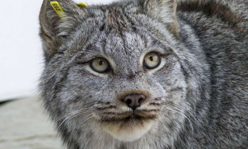 UMass Amherst leads team in first sequencing of Canada lynx genome
