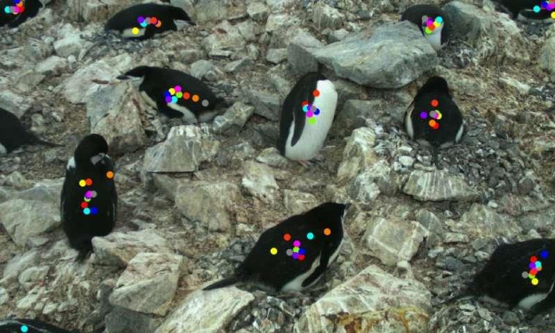 Citizen scientists capture penguin breeding dynamics