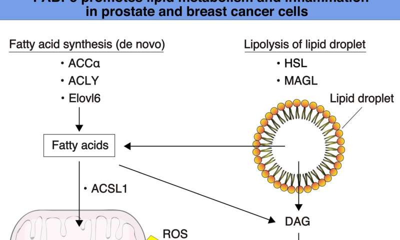 Researchers discover a novel role of protein in important pathways that lead to cancer malignancy