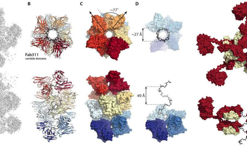 Scientists capture images of antibodies working together against malaria