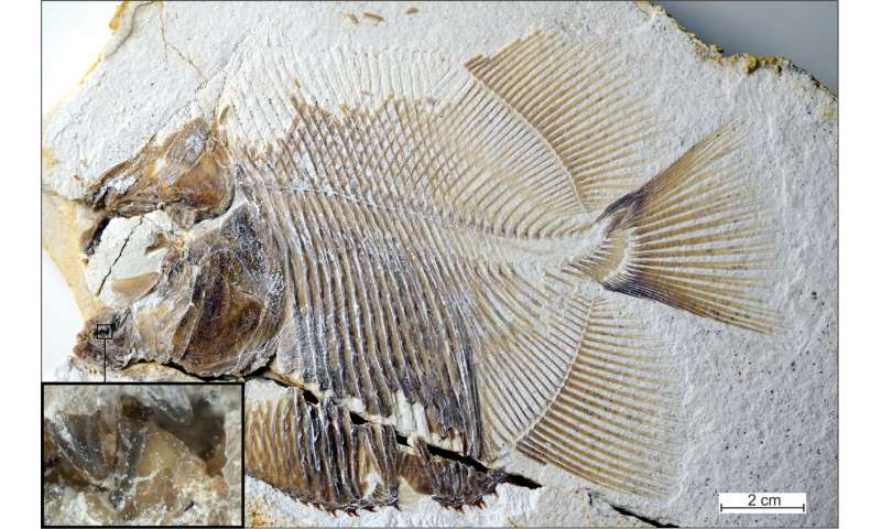 150-million-year old, piranha-like specimen is earliest known flesh-eating fish