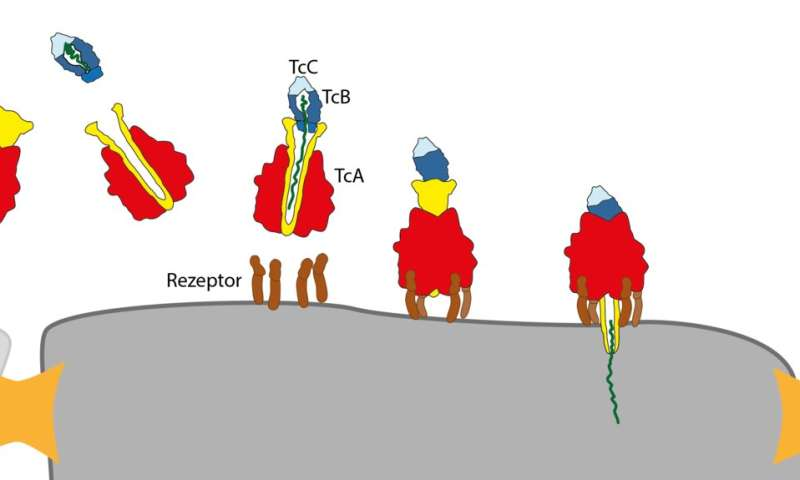 Researchers decode the toxin complex of the plague bacterium and other germs