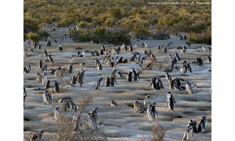 After a bad winter in the ocean, female Magellanic penguins suffer most, study shows