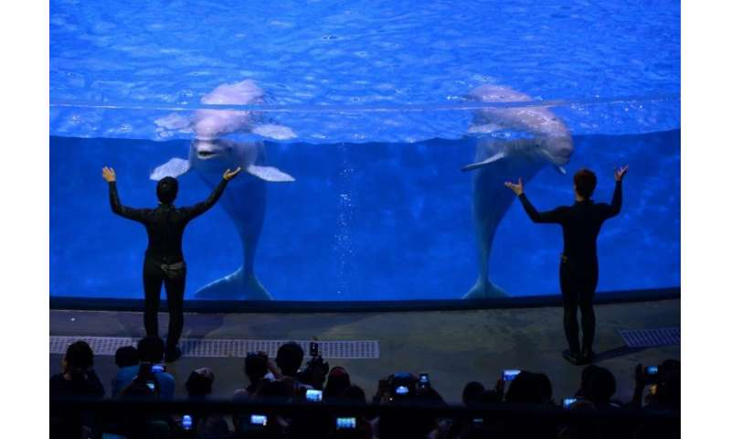 Beluga whales perform at the Chimelong Ocean Kingdom in Zhuhai, China, 29/04/14. Two beluga whales from a Shanghai aquarium are