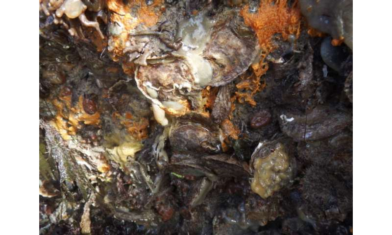 Endangered native oyster helped by invasive species