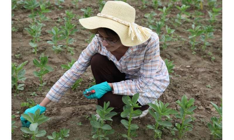 Solución de Faba para la necesidad de nitrógeno del maíz