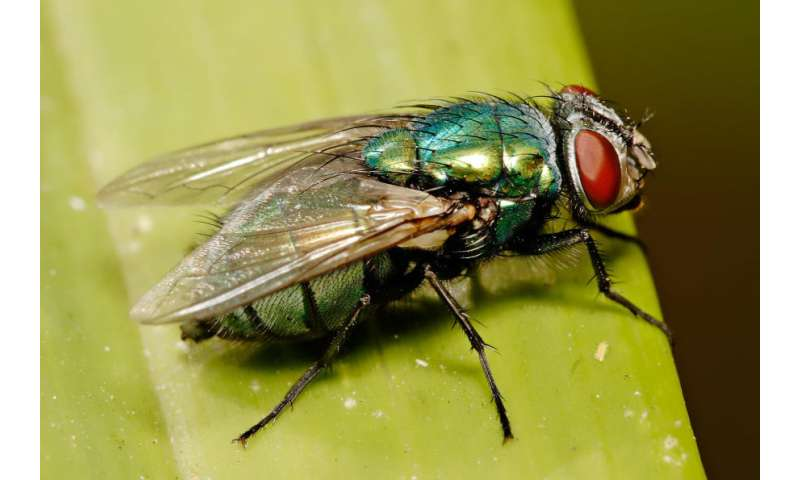 Fighting back against the Australian blowfly