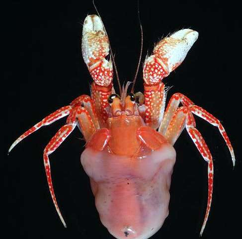 Five new blanket-hermit crab species described 130 years later from the Pacific