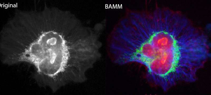 Fluorescence microscopy gets the BAMM treatment!