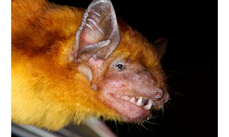 Fuzzy yellow bats reveal evolutionary relationships in Kenya