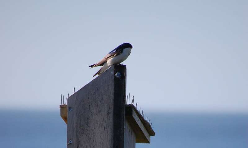 Getting to the root of long-term tree swallow declines