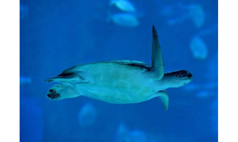 Green sea turtles called Hawaii's East Island home until it was wiped off the map by Hurricane Walaka