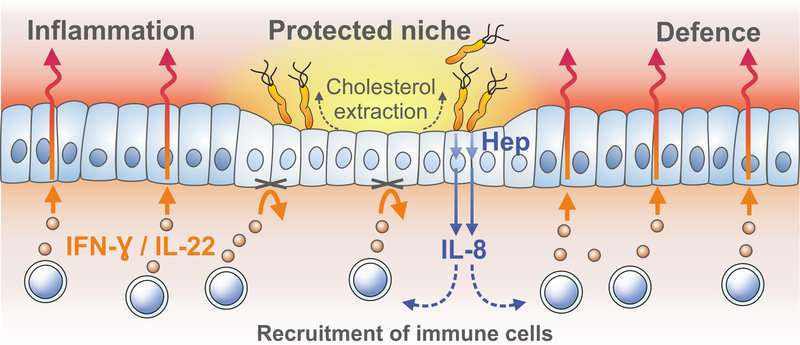 Helicobacter creates immune system blind spot