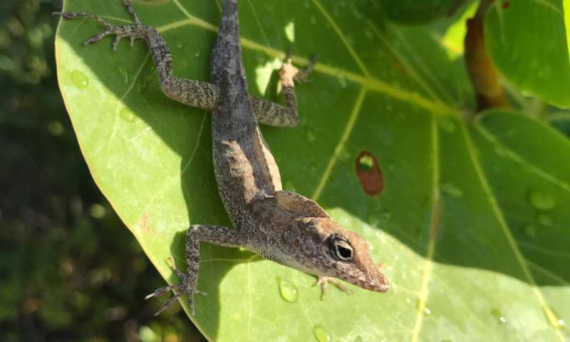 Leggy lizards don't survive the storm