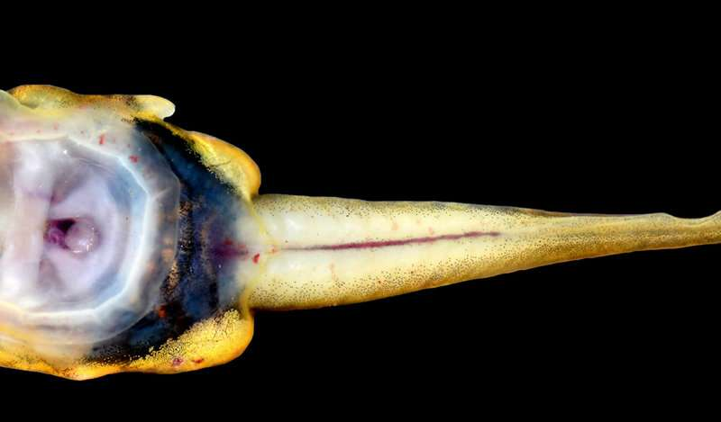 Life in the fast flow: Tadpoles of new species rely on 'suction cups' to keep up