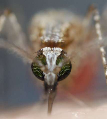 Malaria parasites adapt to mosquito feeding times, study shows
