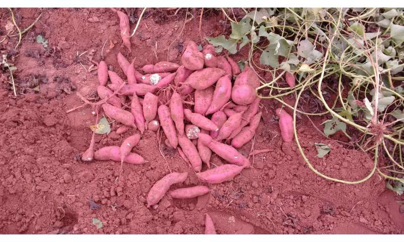 Matchmaking for sweet potato? It's complicated