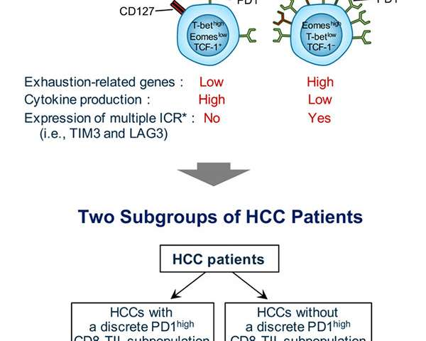 Medical scientists describe optimal immune therapeutic strategies for liver cancer