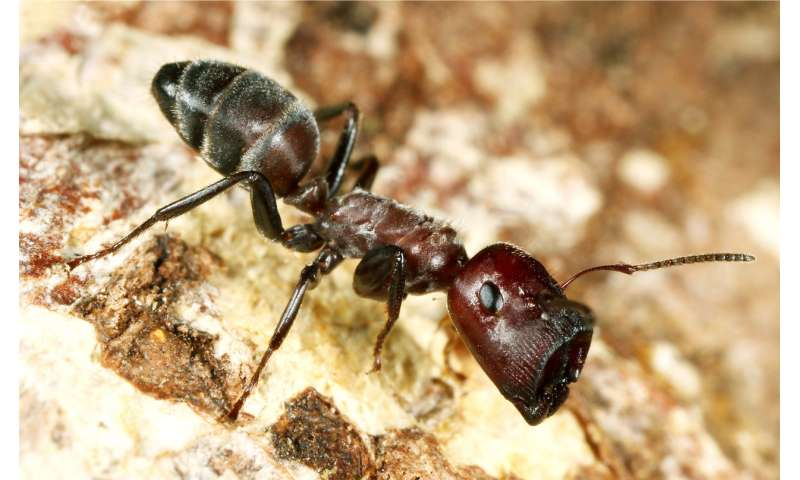 New ant species from Borneo explodes to defend its colony