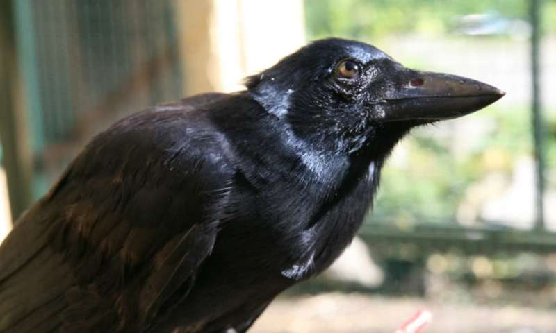 New Caledonian crows can create tools from multiple parts 2-newcaledonia