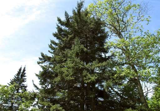 Pollution controls help red spruce rebound from acid rain