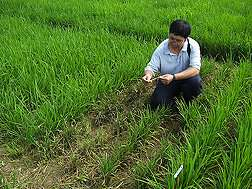 Previously unknown rice blast resistance isolated