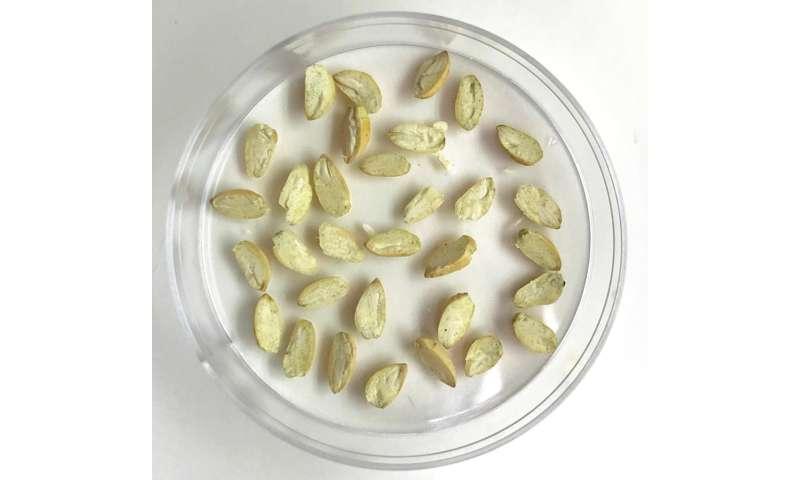 Proteína derivada de la semilla de algodón para la nutrición humana un paso más cerca de la realidad