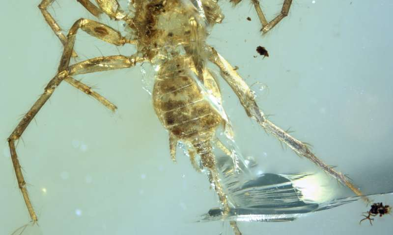 Remarkable spider with a tail found preserved in amber after 100 million years