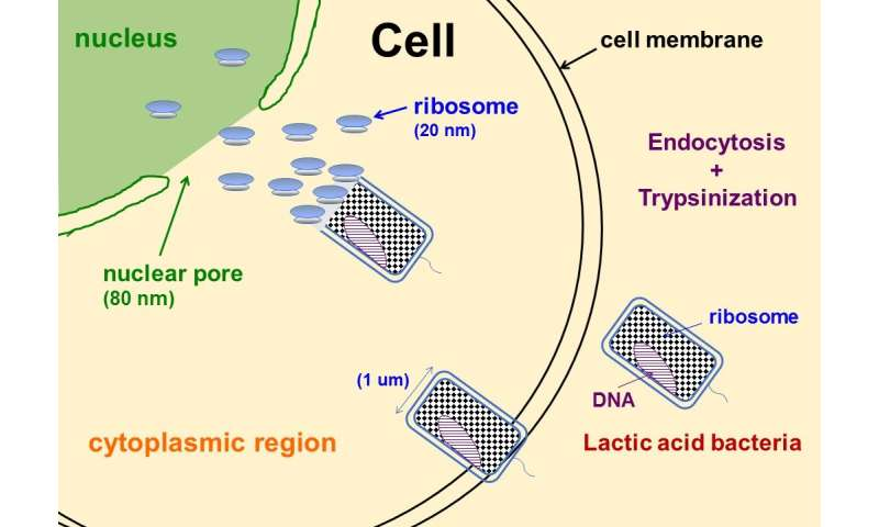Ribosomes found to induce somatic cell pluripotency
