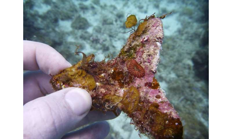 Sowing corals: A new approach paves the way for large-scale coral reef restoration