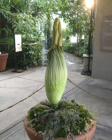 Stinky 'corpse flower' expected to bloom in California