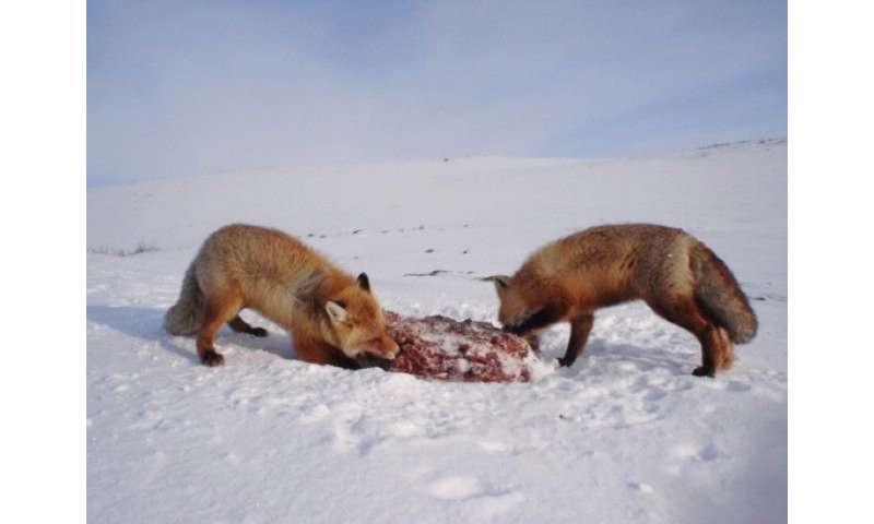 Surviving large carnivores have far-reaching impact