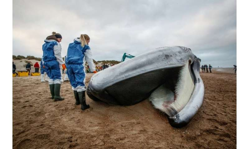 The carcass of a large fin whale stranded on the beach in De Haan, on October 25, 2018.