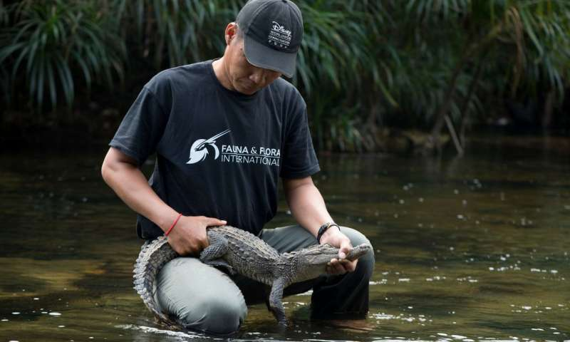 The heat is on – and that's great news for rare Siamese crocodiles