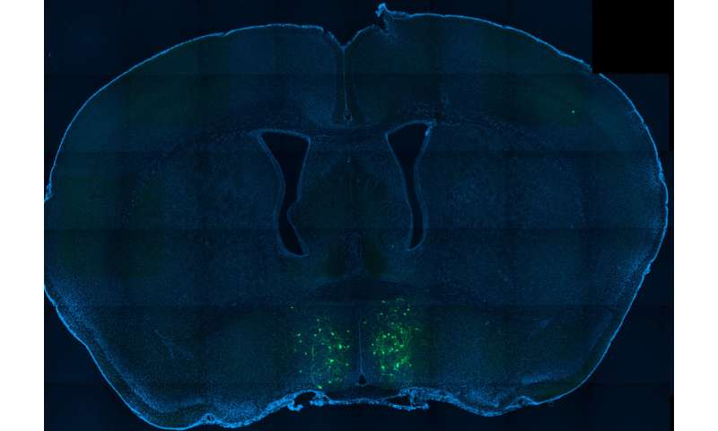 The neural circuitry of parental behavior