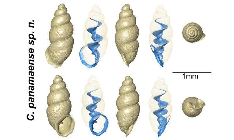 Tiny thorn snail discovered in Panama's backyard