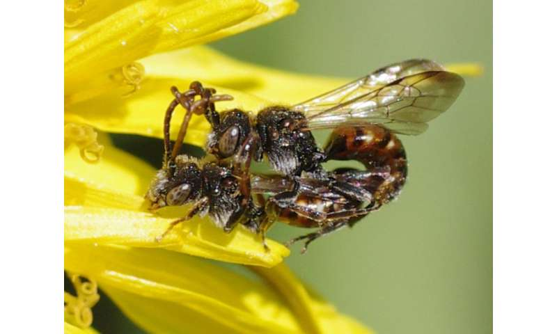 Towards untangling the 'antennal grabbing' phenomenon in mating cuckoo bees