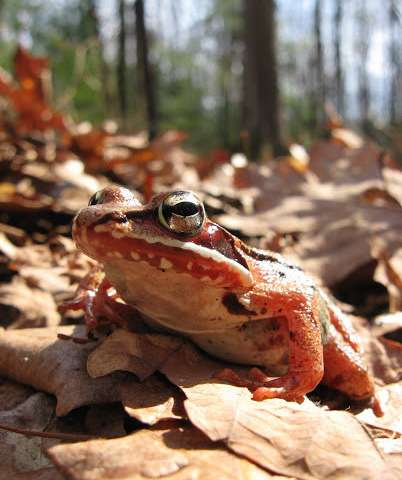 Traffic noise stresses out frogs, but some have adapted