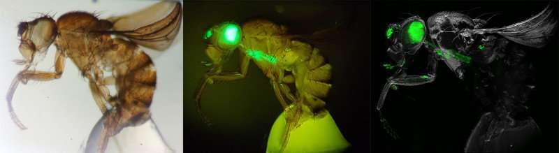 **Transparent fruit flies