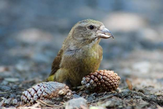 Newly discovered crossbill species numbers few