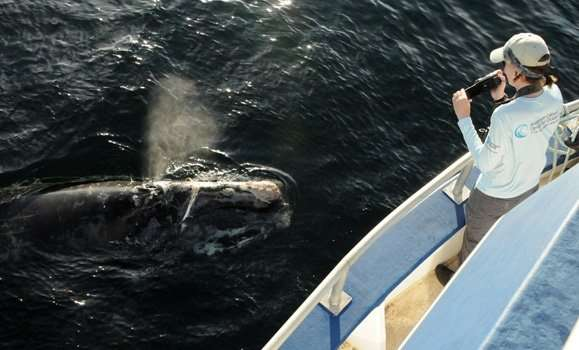 Unprecedented experiment with Canadian military provides new insights on right whales