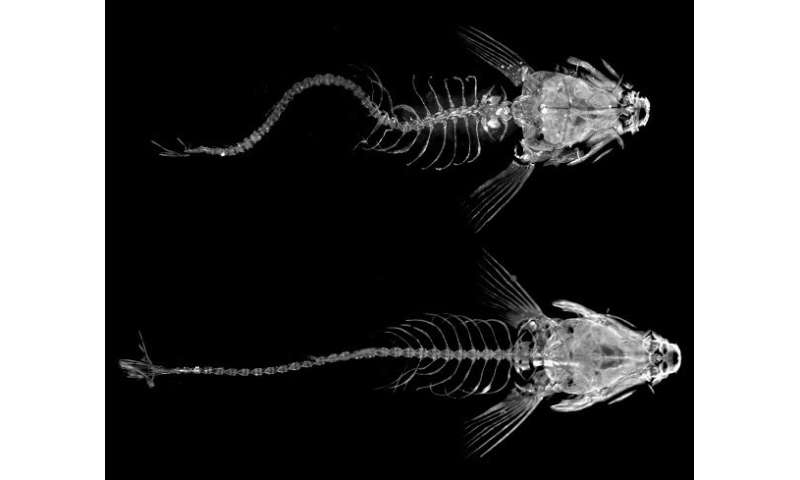 Researchers discover an immune response associated with the development of idiopathic scoliosis (IS) in zebrafish