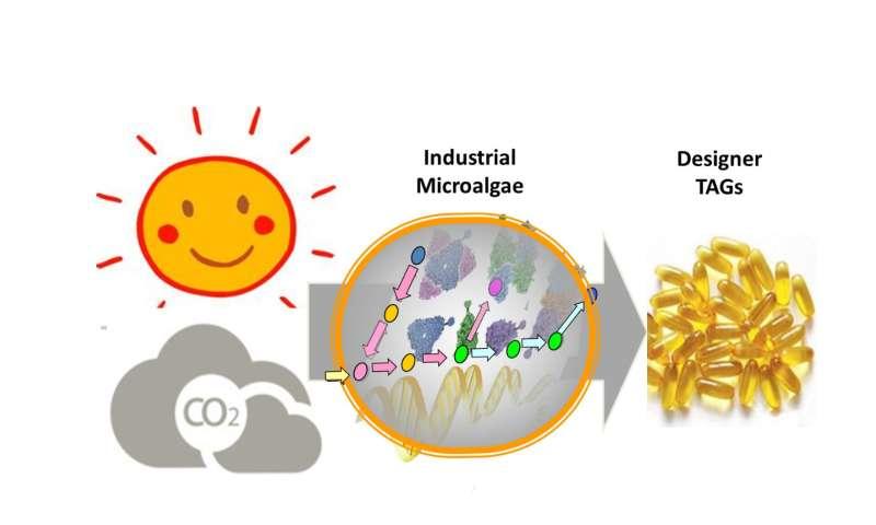 Scientists produce 'designer triacylglycerols' in industrial microalgae