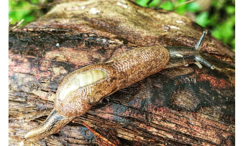 Researchers predict distribution of rat lungworm, now and into future