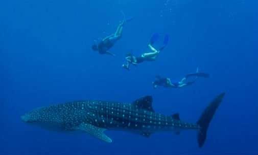 Research reveals secret to whale shark hotspots